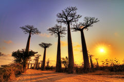 Coucher du soleil grand-angulaire de baobab Photographie stock libre de droits