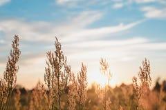 Coucher du soleil - herbe transparente sous le ciel bleu Image stock