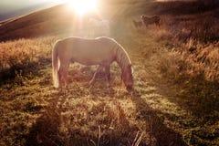 Coucher du soleil à l'arrière-plan de nature de montagnes Les chevaux silhouettent à la brume Images libres de droits