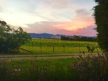 Coucher du soleil du Nouvelle-Zélande sur un vignoble Images libres de droits