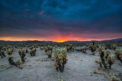 Coucher du soleil nuageux au-dessus de jardin de cactus de Cholla Photo libre de droits