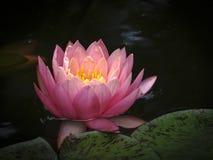 Coucher du soleil orange du ` s de Perry de nénuphar au soleil Le nymphaea s'est reflété dans un étang avec un fond foncé photos libres de droits