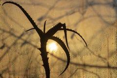 Coucher du soleil par le verre misted, dans le premier plan une fleur d'aloès photo stock