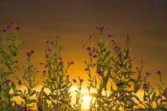 Coucher du soleil par les fleurs côtières sauvages Images libres de droits