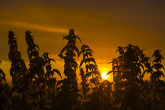 Coucher du soleil par les orties sauvages Photo stock