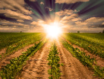 Coucher du soleil puissant sur le champ de ferme avec des rangées de culture de soja photos stock