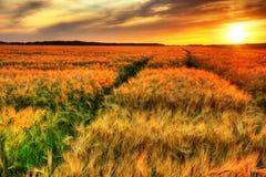 Coucher du soleil renversant au-dessus de gisement de céréale Images libres de droits