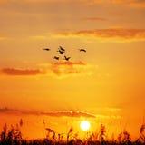 Coucher du soleil sauvage d'oies Images libres de droits
