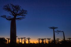 Coucher du soleil sur des arbres de baobab photo libre de droits