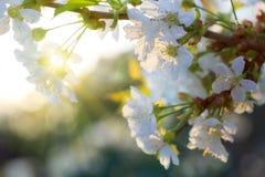 Coucher du soleil sur des fleurs de cerisier Photo stock