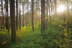 Coucher du soleil sur la forêt Image stock