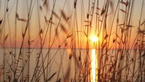 coucher du soleil sur le blé sauvage de mer et l'herbe grande s'élevant sur le bord de la mer clips vidéos