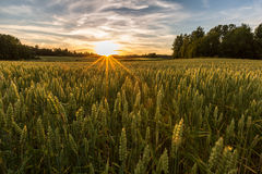 Coucher du soleil sur le champ de blé en Finlande Photos libres de droits