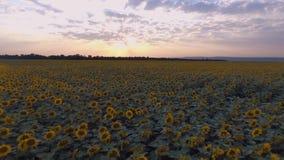Coucher du soleil sur le champ des tournesols Voler sur un quadcopter banque de vidéos
