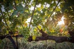 Coucher du soleil sur les raisins Photographie stock