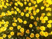 Coucher du soleil sur Tulip Field (groupe de fleurs) Image stock
