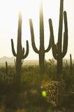 coucher du soleil trois de cactus Image stock