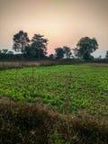 Coucher du soleil vert de soirée de culture de pois fourragers Images libres de droits