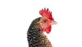Coucou Cou Marans hen from France Stock Photos
