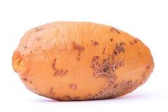 Couepia polyandra fruit closeup Stock Images