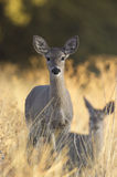 Coues Whitetail Deer. Photograph of Coues whitetail deer grazing in the early morning sunshine royalty free stock photography