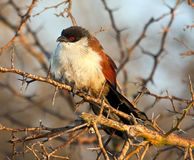 Cougal sitting in a dry thorn tree Stock Photography