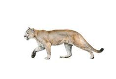 Cougar που απομονώνεται πέρα από ένα άσπρο υπόβαθρο Στοκ εικόνα με δικαίωμα ελεύθερης χρήσης