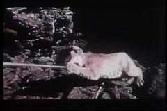Cougar που σέρνεται εύθυμος στο τέλος του ραβδιού απόθεμα βίντεο