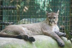 Cougar σε έναν ζωολογικό κήπο Μεξικό, Tabasco, Villahermosa Στοκ εικόνα με δικαίωμα ελεύθερης χρήσης