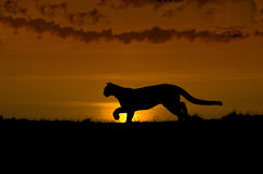 cougar σκιαγραφία Στοκ εικόνα με δικαίωμα ελεύθερης χρήσης