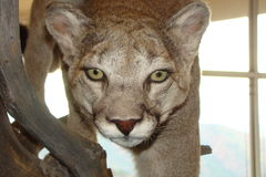Cougar στην επίδειξη στοκ εικόνα