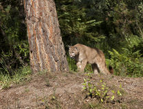 Cougar στην επιφυλακή Στοκ Εικόνα