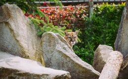 Cougar στο ζωολογικό κήπο Bellevue Στοκ φωτογραφία με δικαίωμα ελεύθερης χρήσης