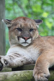 Cougar Stock Photo