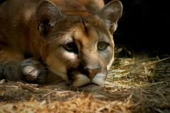 Cougar. Staring, low key royalty free stock photography