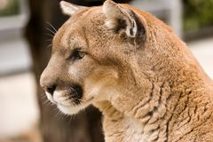 Cougar. A Cougar (mountain lion) surveys his territory. Close up head shot Stock Images