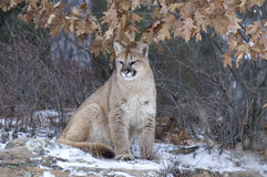 Cougar. Sitting in forest in winter Stock Photos