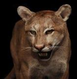 cougar Zdjęcie Stock