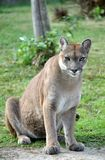 The cougar Stock Photography