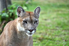 The cougar Royalty Free Stock Photos