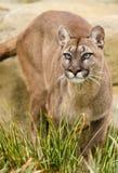 cougar Στοκ Εικόνα