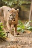 Cougar Stock Photos