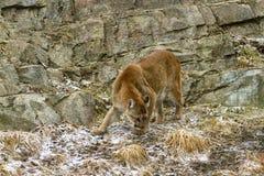 Free Cougar Stock Image - 40061381