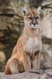 cougar Fotografia Stock Libera da Diritti
