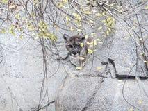 cougar Lizenzfreies Stockfoto