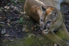 cougar Fotografie Stock Libere da Diritti
