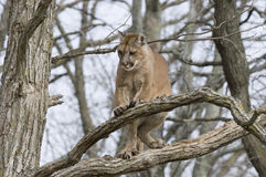 Cougar. In tree. Photographed in Northern Minnesota Stock Images