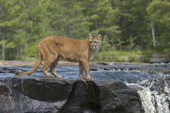 Cougar Stock Photography