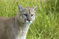 cougar Στοκ εικόνες με δικαίωμα ελεύθερης χρήσης