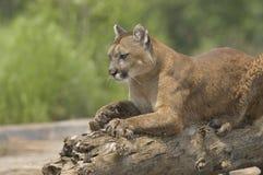 cougar Fotografia Stock
